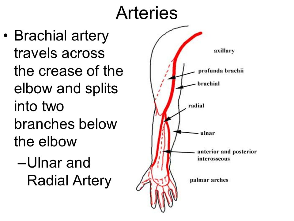 Arteries Brachial artery travels across the crease of the elbow and splits into two branches below the elbow –Ulnar and Radial Artery