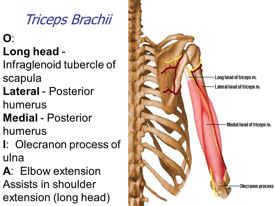 Triceps Brachii O: Long head - Infraglenoid tubercle of scapula Lateral - Posterior humerus Medial - Posterior humerus I: Olecranon process of ulna A: