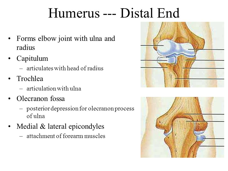 Humerus cont. Olecranon Fossa: Depression on posterior surface just above trochlea; receives the olecranon process of ulna when lower arm extends. Cor