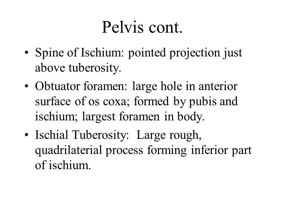 Pelvis cont. C. Posterior superior: At posterior end of iliac crest. D. Posterior inferior: Just below posterior superior spine. Greater Sciatic Notch