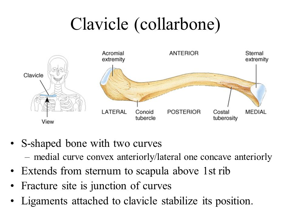 Humerus --- Proximal End Part of shoulder joint Head & anatomical neck Greater & lesser tubercles for muscle attachments Intertubercular sulcus or bicipital groove Surgical neck is fracture site Deltoid tuberosity Shaft