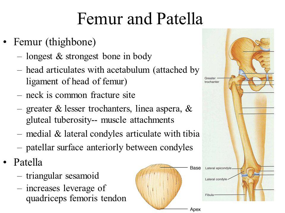 Lower Extremity Each lower limb = 30 bones –femur and patella within the thigh –tibia & fibula within the leg –tarsal bones in the foot –metatarsals w