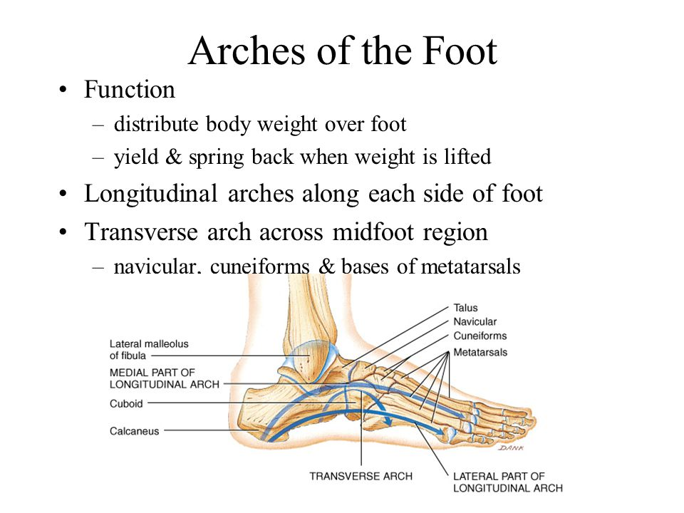 Phalanges Miniature long bones of the toes; two in each great toe; three in other toes.