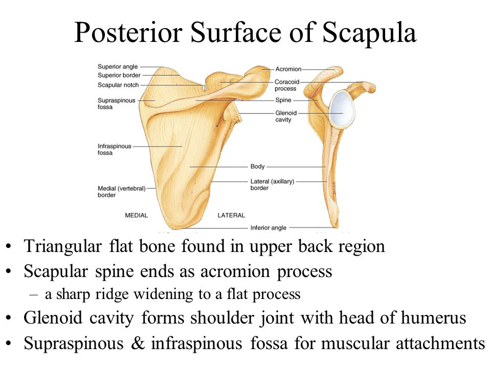Posterior Surface of Scapula Triangular flat bone found in upper back region Scapular spine ends as acromion process –a sharp ridge widening to a flat process Glenoid cavity forms shoulder joint with head of humerus Supraspinous & infraspinous fossa for muscular attachments