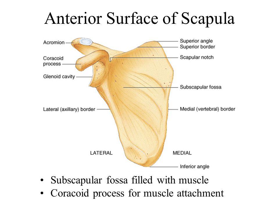 Patella Kneecap; largest sesamoid bone of the body; embedded in tendon of quadriceps femoris muscle.