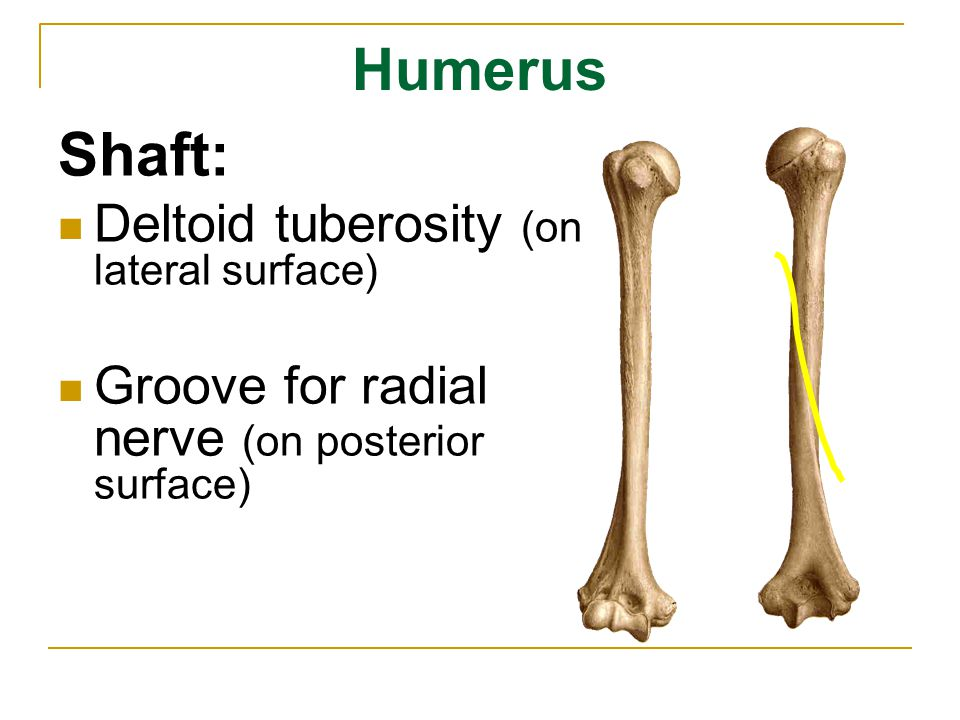 Humerus Lower end: Lateral epicondyle Medial epicondyle Capitulum Trochlea Coranoid fossa (anteriorly) Radial fossa (anteriorly) Olecranon fossa (posteriorly) Sulcus for ulnar nerve