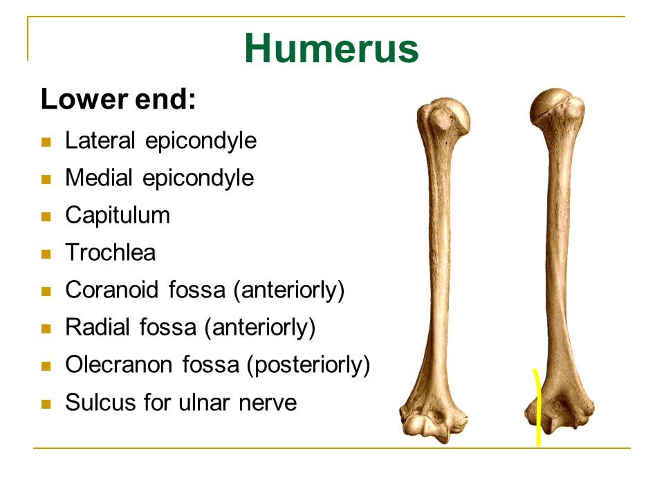 Radius Upper end: head of radius neck of radius radial tuberosity articular circumference Shaft : interosseous border Lower end: styloid process (laterally) ulnar notch (medially) carpal articular surface (inferiorly)