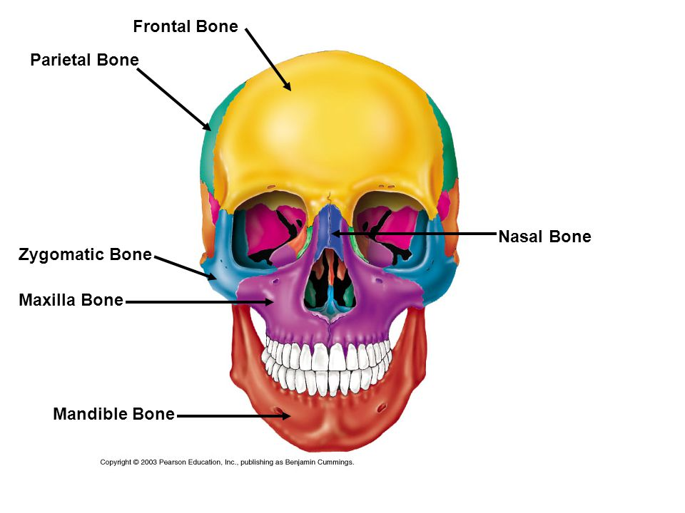 Parietal Bone Frontal Bone Zygomatic Bone Maxilla Bone Mandible Bone Nasal Bone