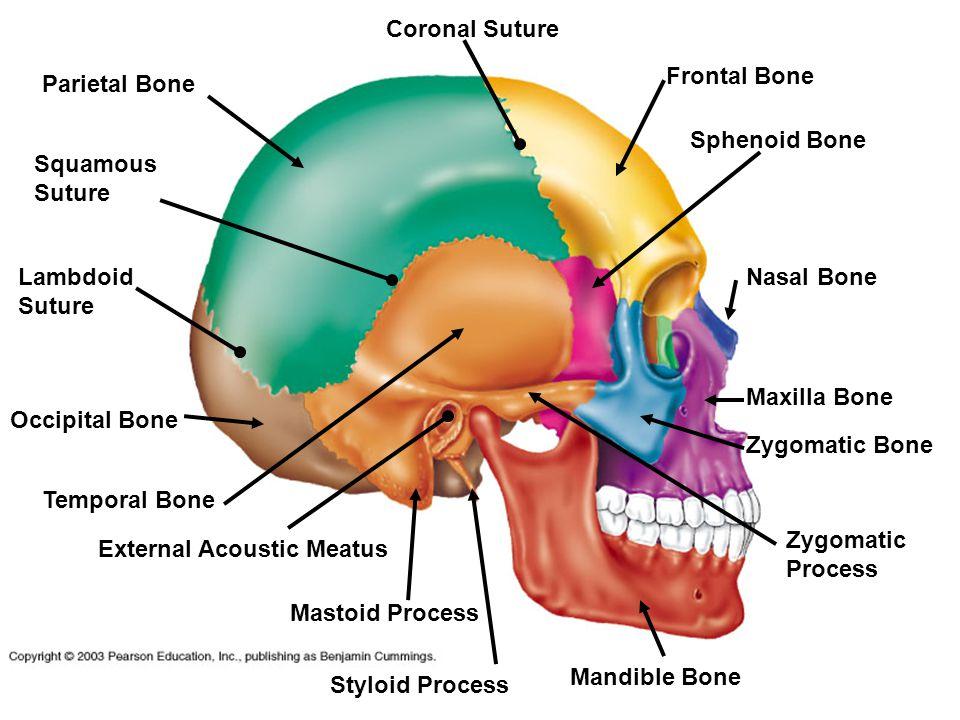 Occipital Bone Frontal Bone Temporal Bone Sphenoid Bone Nasal Bone Maxilla Bone Mandible Bone External Acoustic Meatus Mastoid Process Styloid Process Zygomatic Bone Zygomatic Process Coronal Suture Squamous Suture Lambdoid Suture Parietal Bone