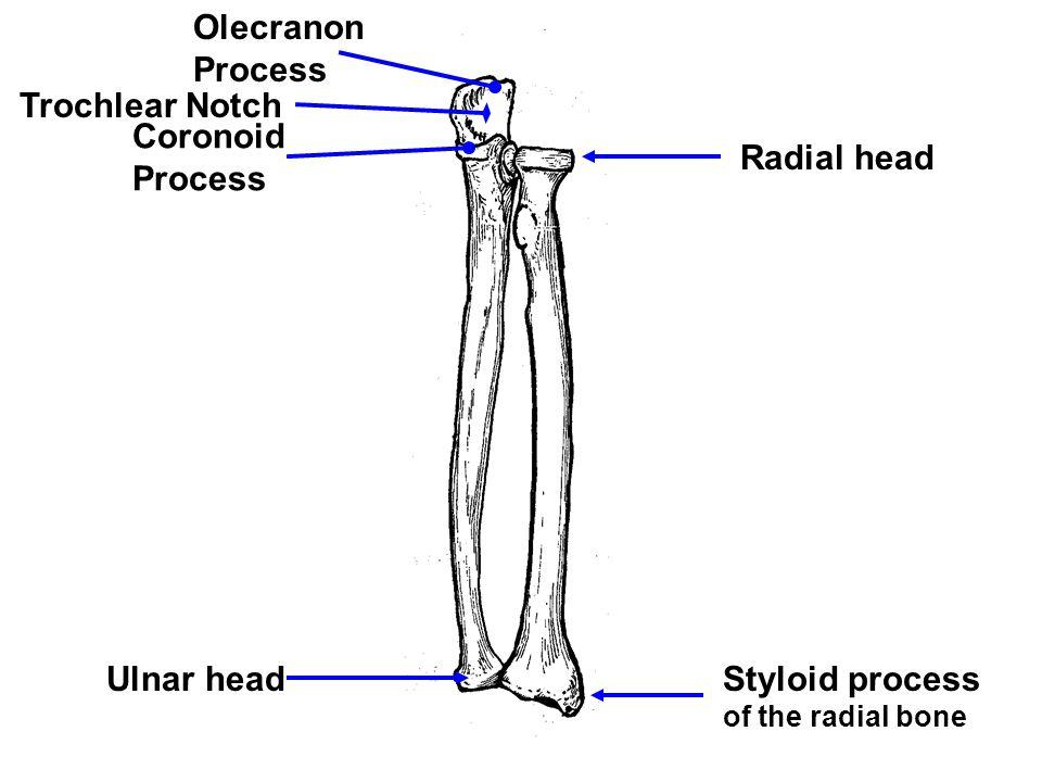 Olecranon Process Trochlear Notch Coronoid Process Ulnar head Radial head Styloid process of the radial bone