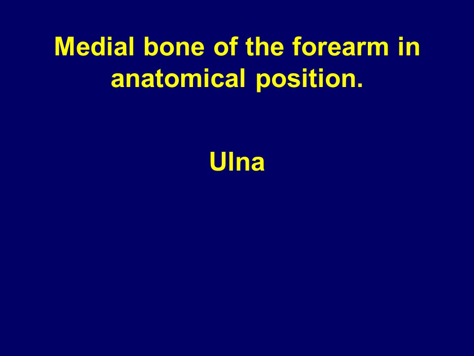 Medial bone of the forearm in anatomical position. Ulna