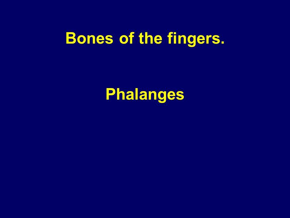 Bones of the fingers. Phalanges