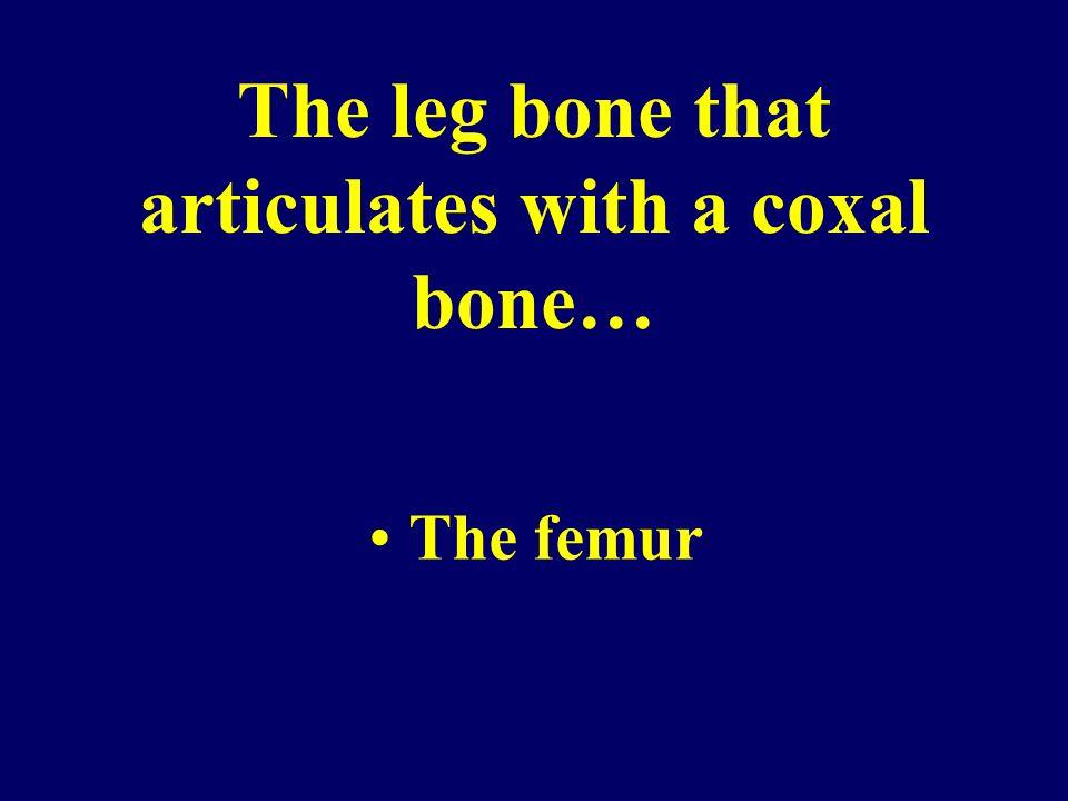 The leg bone that articulates with a coxal bone… The femur