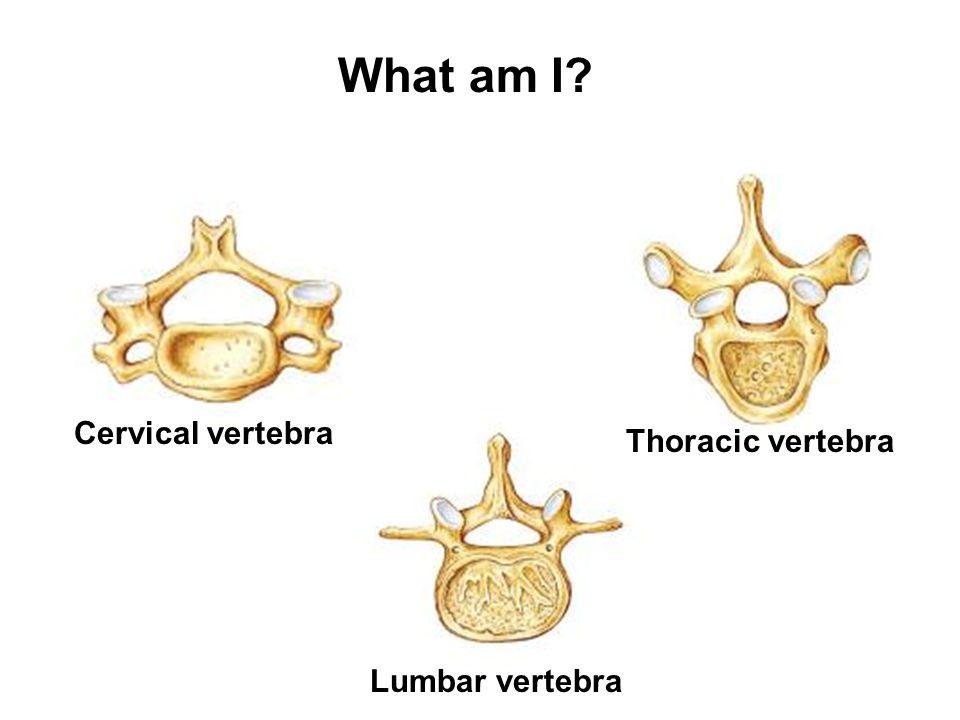 What am I Cervical vertebra Lumbar vertebra Thoracic vertebra
