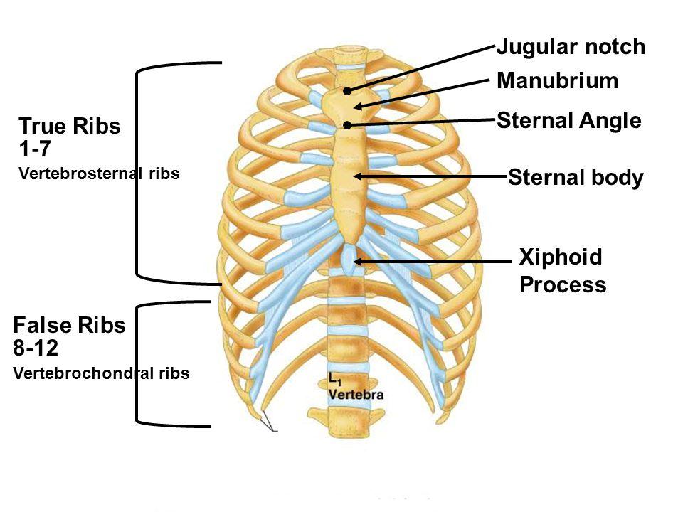 Jugular notch Manubrium Sternal Angle Sternal body Xiphoid Process True Ribs 1-7 Vertebrosternal ribs False Ribs 8-12 Vertebrochondral ribs