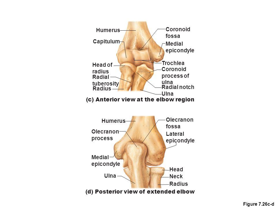 Figure 7.26c-d Coronoid fossa Radius Radial tuberosity Head of radius Capitulum Trochlea (c) Anterior view at the elbow region Humerus Medial epicondy