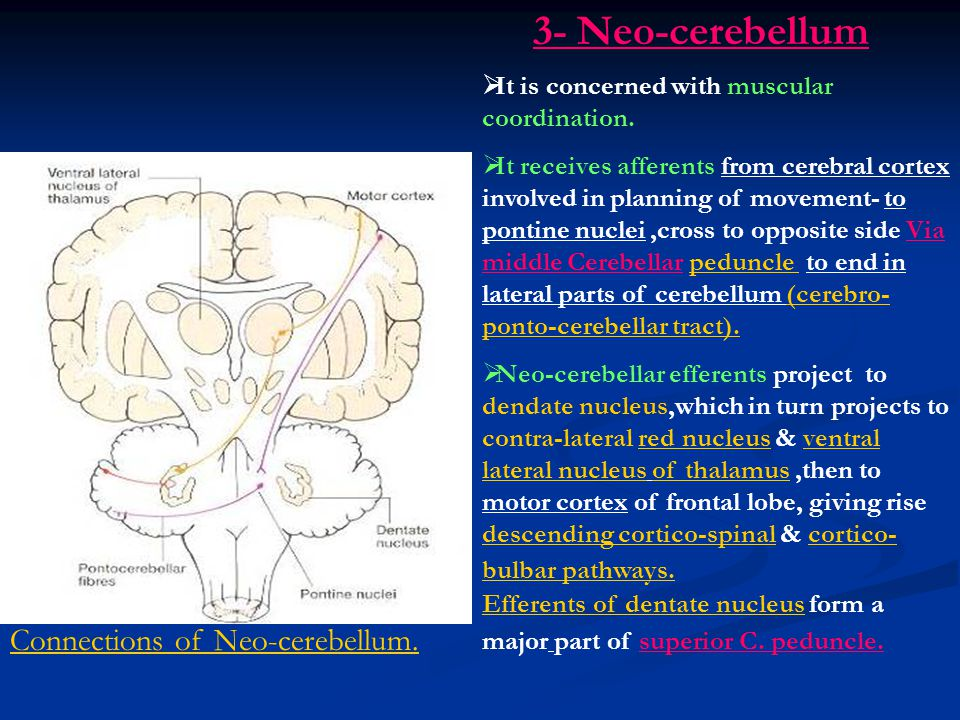 Connections of Neo-cerebellum. 3- Neo-cerebellum  It is concerned with muscular coordination.