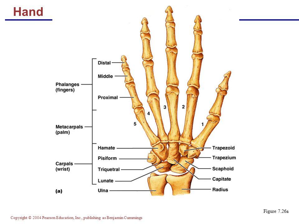 Copyright © 2004 Pearson Education, Inc., publishing as Benjamin Cummings Hand Figure 7.26a