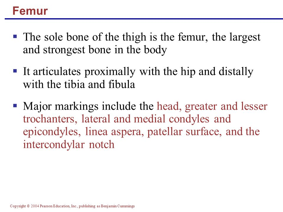 Copyright © 2004 Pearson Education, Inc., publishing as Benjamin Cummings Femur  The sole bone of the thigh is the femur, the largest and strongest b