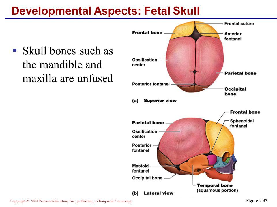 Copyright © 2004 Pearson Education, Inc., publishing as Benjamin Cummings Developmental Aspects: Fetal Skull  Skull bones such as the mandible and ma