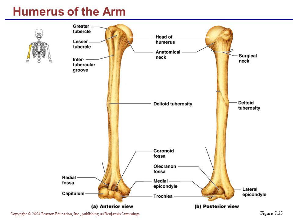 Copyright © 2004 Pearson Education, Inc., publishing as Benjamin Cummings Humerus of the Arm Figure 7.23