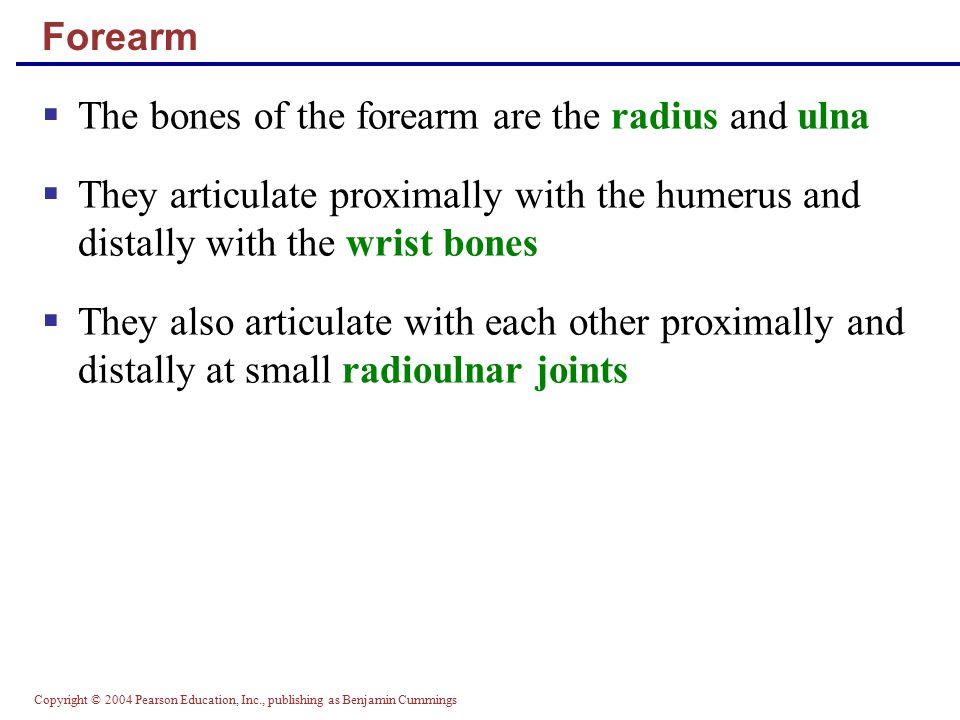 Copyright © 2004 Pearson Education, Inc., publishing as Benjamin Cummings Forearm  The bones of the forearm are the radius and ulna  They articulate