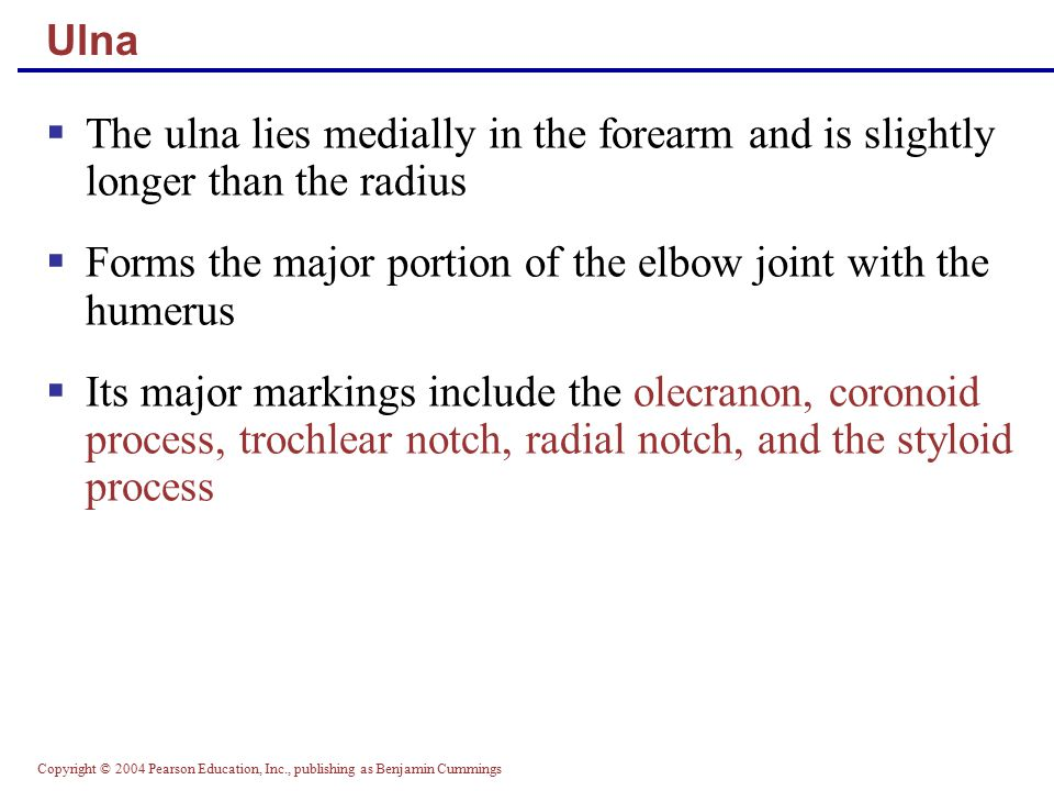 Copyright © 2004 Pearson Education, Inc., publishing as Benjamin Cummings Ulna  The ulna lies medially in the forearm and is slightly longer than the