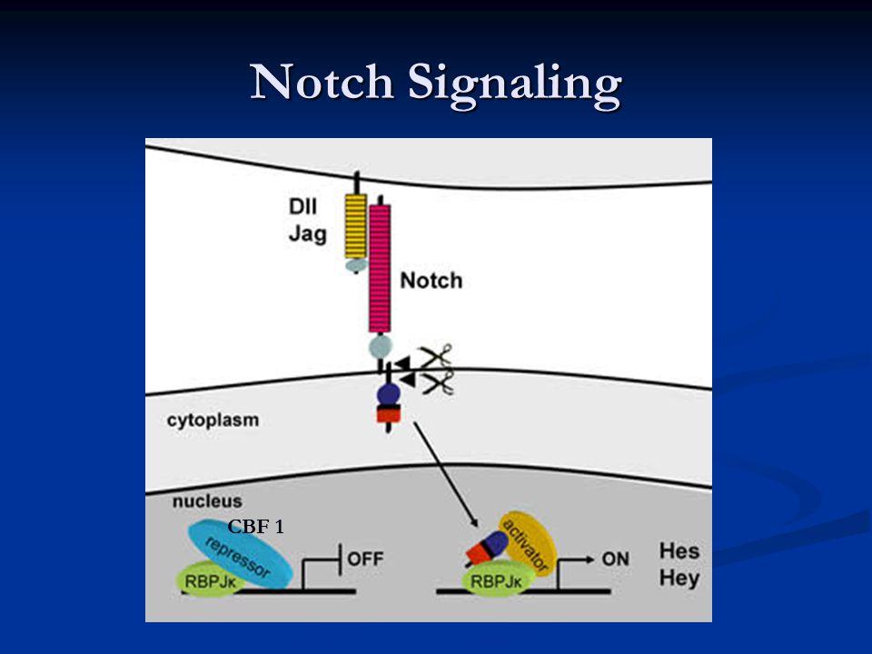 Notch Signaling CBF 1