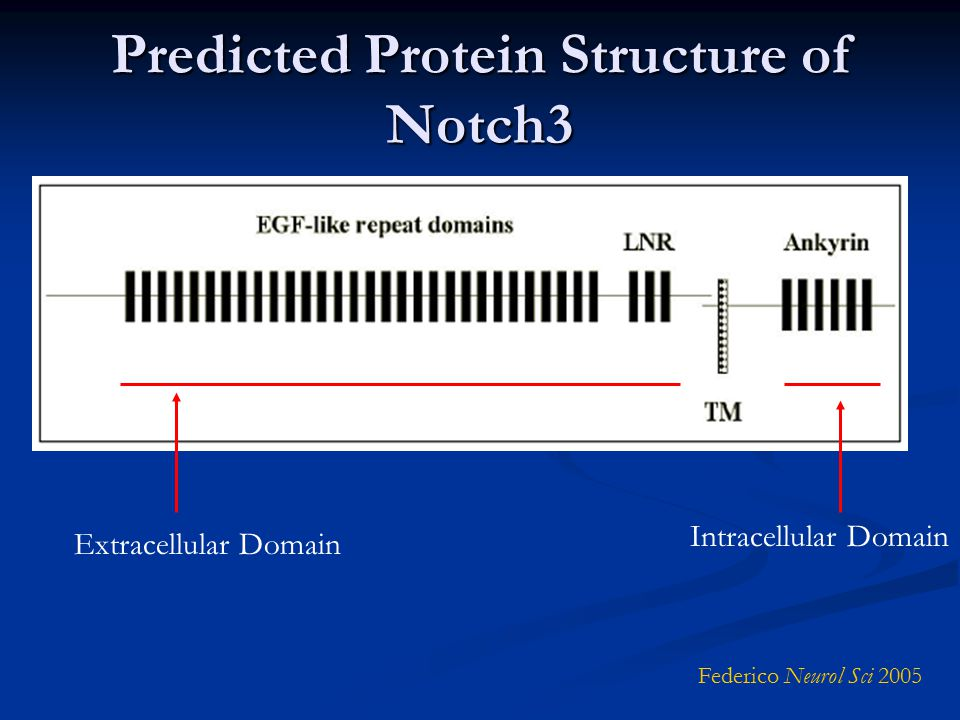 Predicted Protein Structure of Notch3 Federico Neurol Sci 2005 Extracellular Domain Intracellular Domain