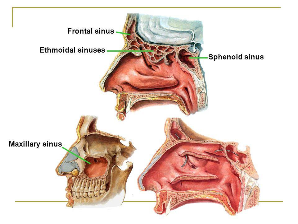 Frontal sinus Ethmoidal sinuses Sphenoid sinus Maxillary sinus