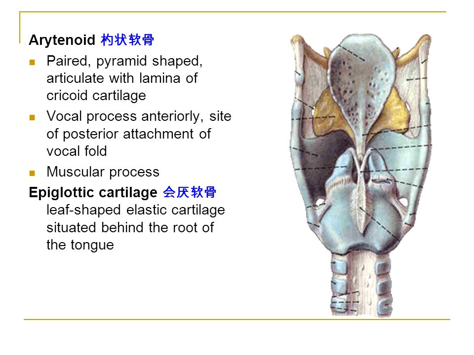 Arytenoid 杓状软骨 Paired, pyramid shaped, articulate with lamina of cricoid cartilage Vocal process anteriorly, site of posterior attachment of vocal fold Muscular process Epiglottic cartilage 会厌软骨 leaf-shaped elastic cartilage situated behind the root of the tongue