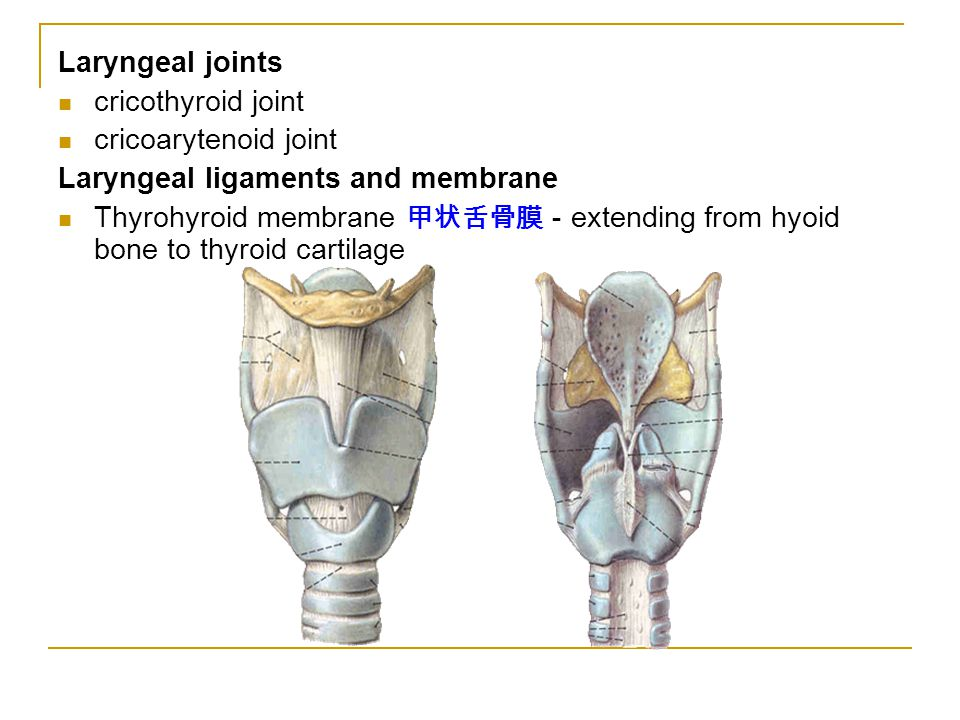 Laryngeal joints cricothyroid joint cricoarytenoid joint Laryngeal ligaments and membrane Thyrohyroid membrane 甲状舌骨膜 - extending from hyoid bone to thyroid cartilage