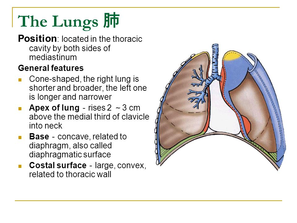 The Lungs 肺 Position : located in the thoracic cavity by both sides of mediastinum General features Cone-shaped, the right lung is shorter and broader, the left one is longer and narrower Apex of lung - rises 2 ~ 3 cm above the medial third of clavicle into neck Base - concave, related to diaphragm, also called diaphragmatic surface Costal surface - large, convex, related to thoracic wall