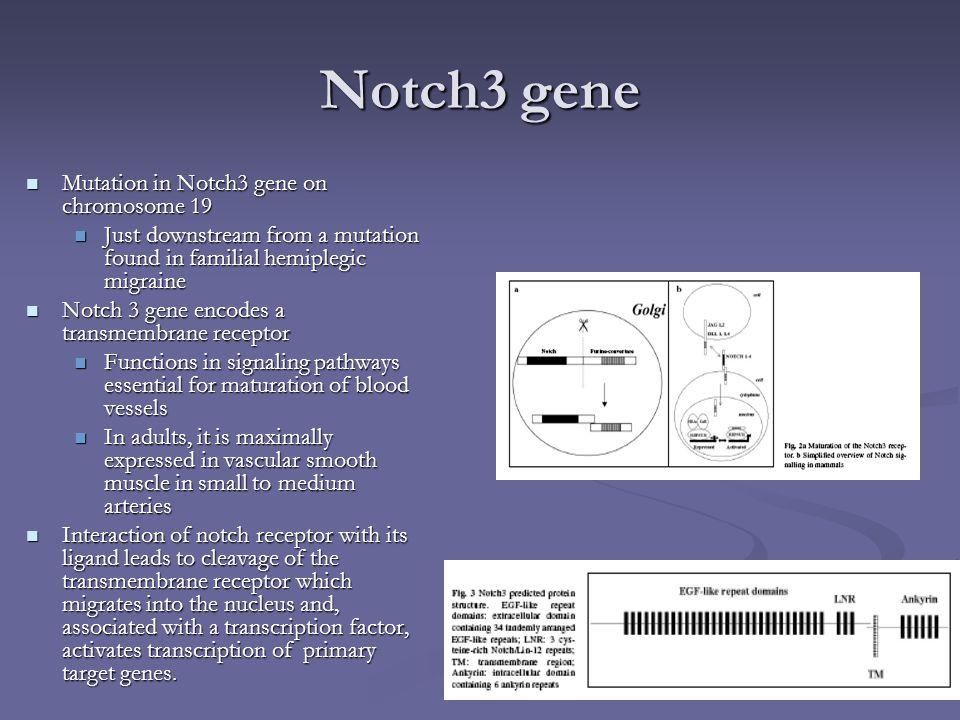 Notch3 gene Mutation in Notch3 gene on chromosome 19 Mutation in Notch3 gene on chromosome 19 Just downstream from a mutation found in familial hemipl