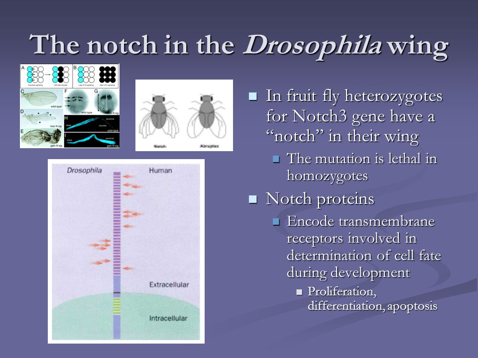 """The notch in the Drosophila wing In fruit fly heterozygotes for Notch3 gene have a """"notch"""" in their wing The mutation is lethal in homozygotes Notch p"""