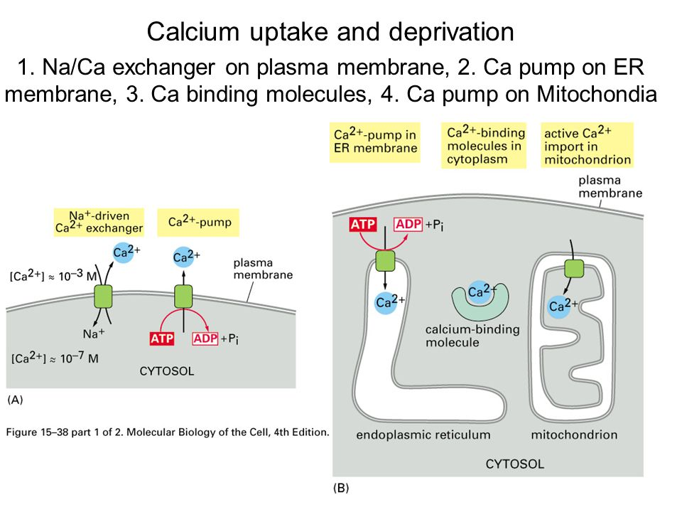 Calcium uptake and deprivation 1. Na/Ca exchanger on plasma membrane, 2.