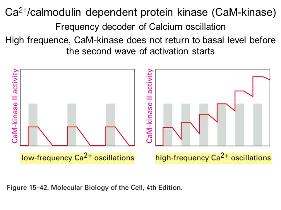 Ca 2+ /calmodulin dependent protein kinase (CaM-kinase) Frequency decoder of Calcium oscillation High frequence, CaM-kinase does not return to basal level before the second wave of activation starts