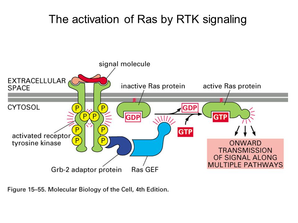 The activation of Ras by RTK signaling