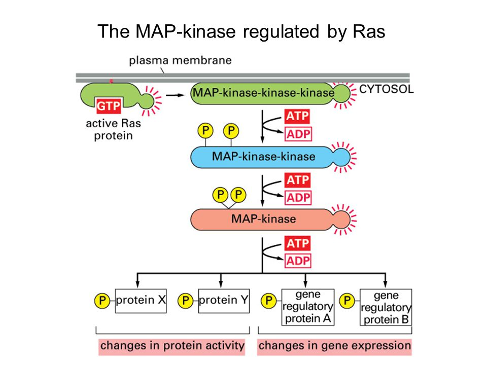 The MAP-kinase regulated by Ras