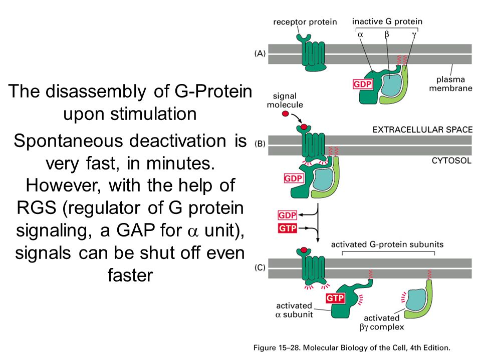 The disassembly of G-Protein upon stimulation Spontaneous deactivation is very fast, in minutes.
