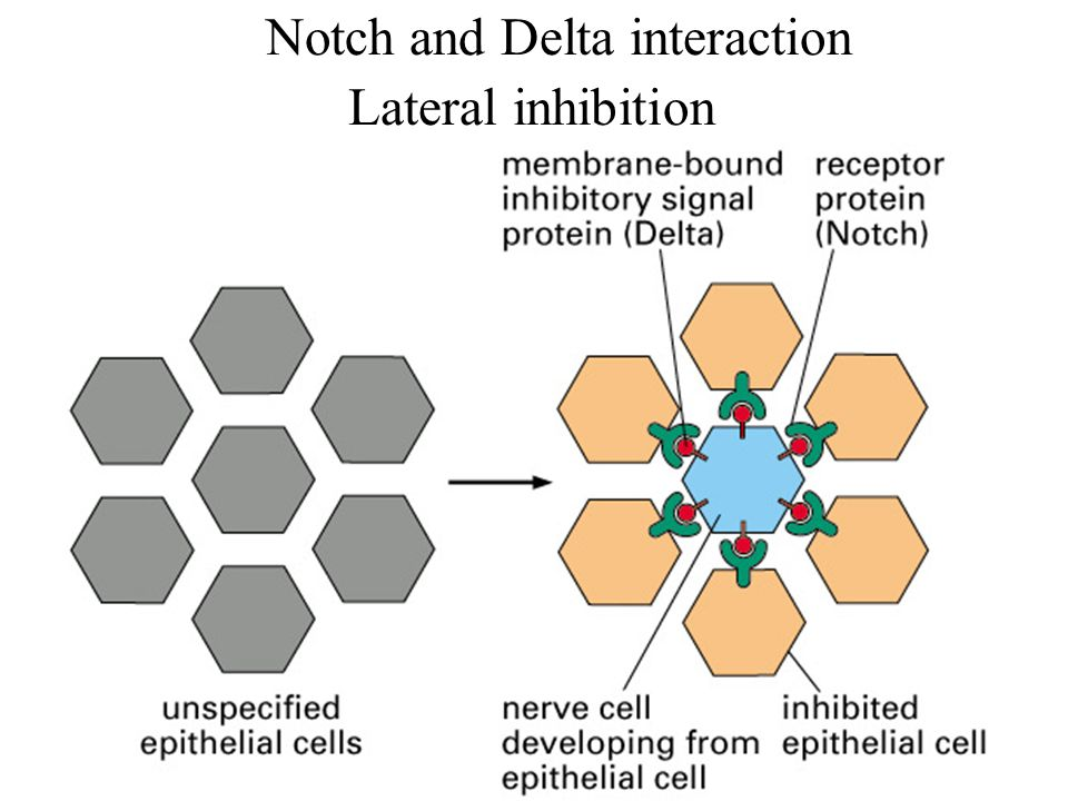 1.Notch and Delta interaction Lateral inhibition