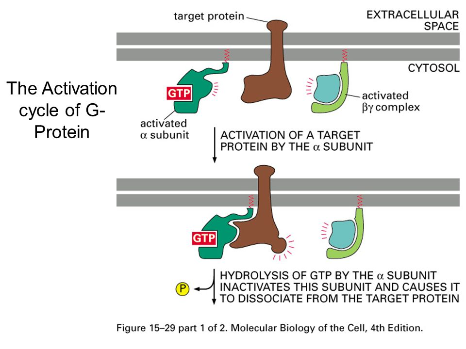 Another PI3K pathway to regulate cell migration PI3K->PIP3->GEF->Rac->Wave->Arp2/3->Actin polymerization Movie: chemotaxis, PI3K and cell migration