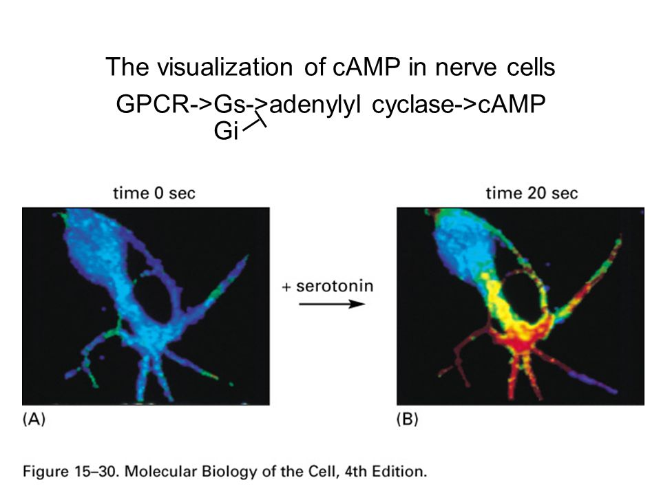 cAMP cycle: GPCR->Gs->adenylyl cyclase->cAMP Cyclic AMP phosphodiesterase breaks down cAMP to 5'-AMP