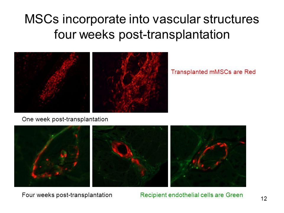 12 MSCs incorporate into vascular structures four weeks post-transplantation Transplanted mMSCs are Red One week post-transplantation Four weeks post-
