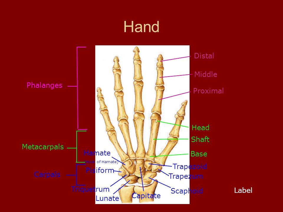 Hand Distal Middle Base Metacarpals Hamate (Hook of Hamate) Capitate Trapezoid Pisiform Triquetrum Lunate Scaphoid Proximal Phalanges Head Shaft Carpa
