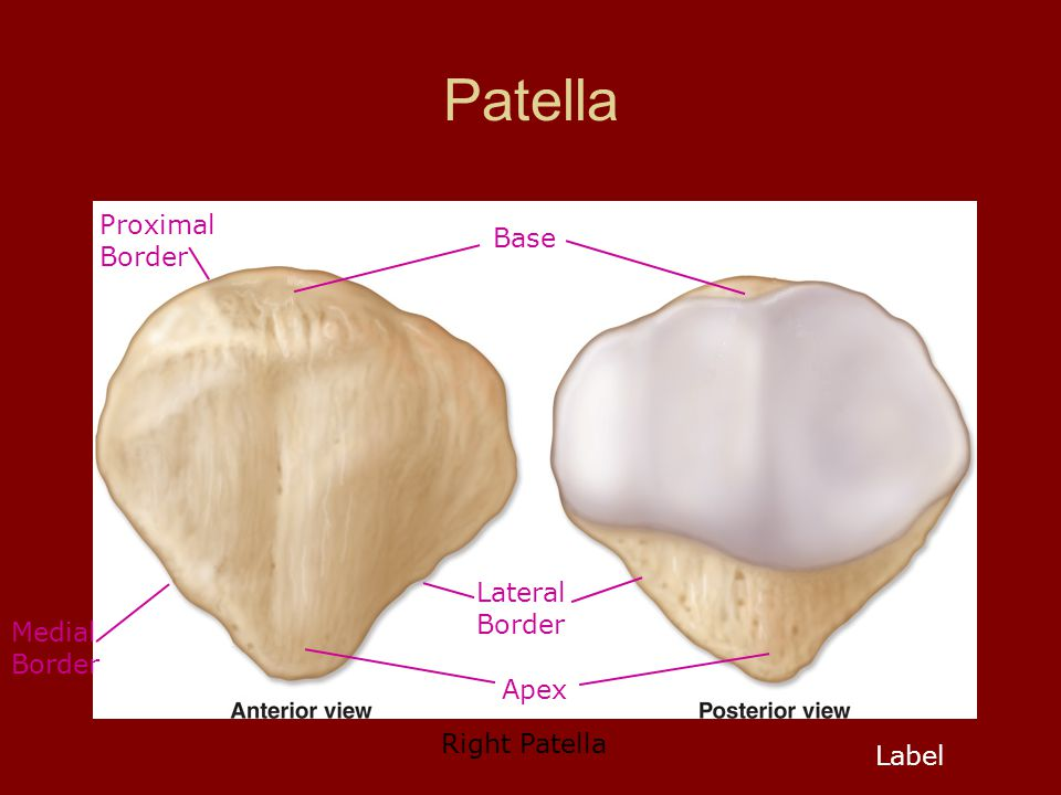 Patella Base Apex Lateral Border Medial Border Proximal Border Label Right Patella
