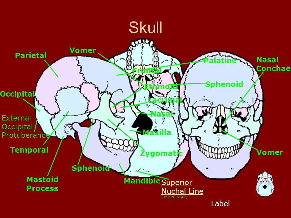 Skull Label Frontal External Occipital Protuberance Superior Nuchal Line Superior Nuchal Line (3 rd picture #2) Occipital Mastoid Process Temporal Par