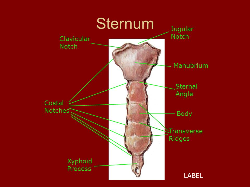 Sternum Jugular Notch Manubrium Sternal Angle Body Costal Notches Transverse Ridges Xyphoid Process LABEL Clavicular Notch