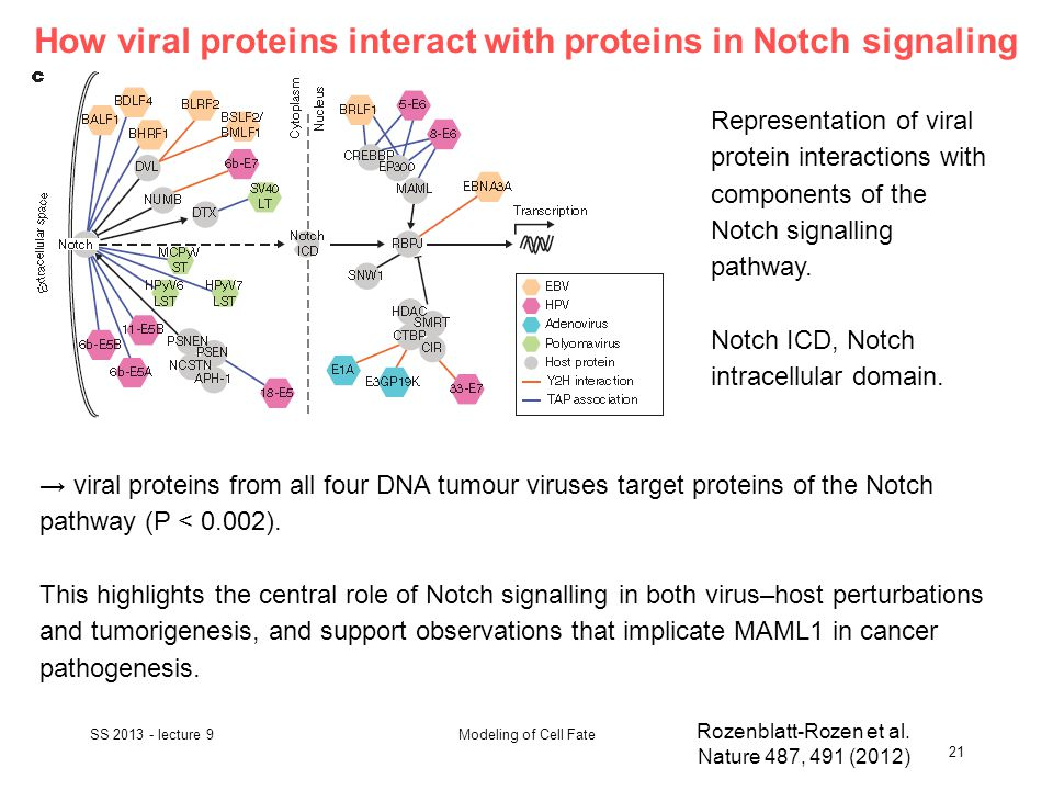 How viral proteins interact with proteins in Notch signaling SS 2013 - lecture 9 21 Modeling of Cell Fate Rozenblatt-Rozen et al.