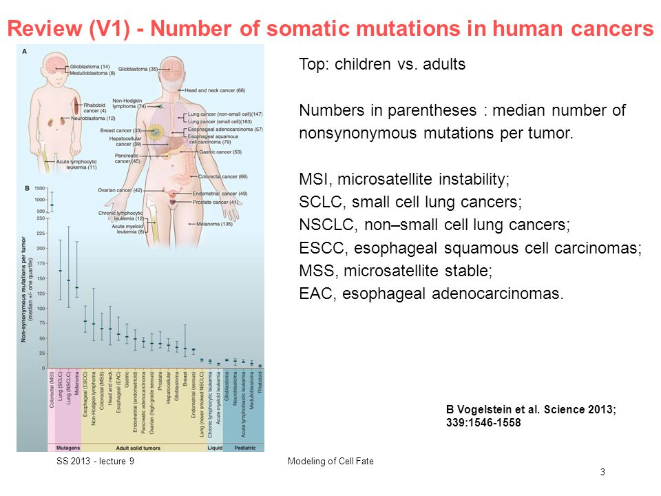Review (V1) - Number of somatic mutations in human cancers SS 2013 - lecture 9 3 Modeling of Cell Fate B Vogelstein et al.